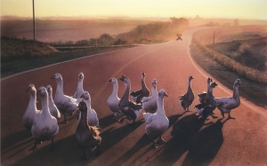 geese_on_road